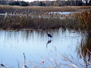 Prime Hook National Wildlife Refuge - Great blue heron at Prime Hook NWR