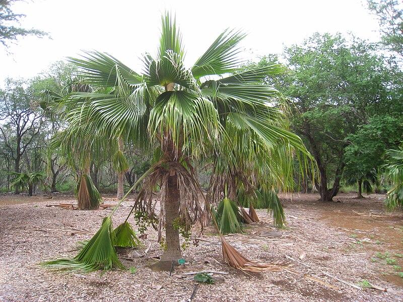 File Pritchardia Schattaueri Koko Crater Botanical Garden Img 2253 Jpg Wikimedia Commons