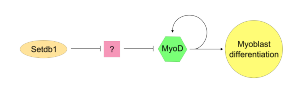 MyoD - Evidence suggests that Setdb1 inhibits a repressor of MyoD and this is the mechanism through which MyoD expression is retained in differentiated myoblasts.