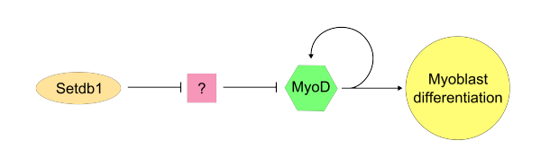 Stdb1/MyoD possible pathway.