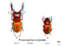 Prosocopoilus occipitalis en 3D.png