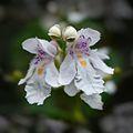 Prostanthera lasianthos flowers.jpg
