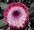 Protea Pink Ice.jpg