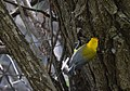 Prothonotary Warbler (34833573875).jpg