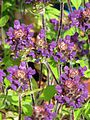 Prunella vulgaris lanceolata dark purple (9344403678).jpg