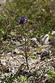 Prunella vulgaris sabliere-morriere-plailly 60 30062008 2.jpg