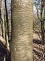 Prunus avium subsp. avium sl18.jpg