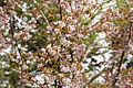 Prunus nipponica 07.jpg