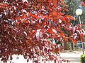 Prunus pisardii leaves.jpg