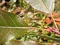Prunus virginiana (5069288727).jpg