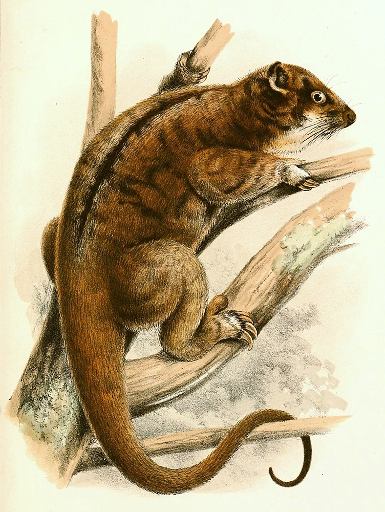 The average litter size of a Plush-coated ringtail possum is 1