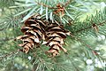 Pseudotsuga menziesii subsp glauca Cody Hough.jpg