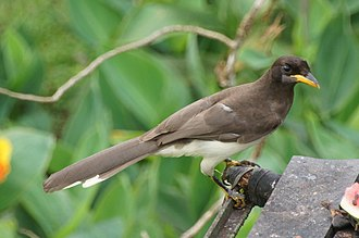 Brown jay - Sub-adult in Costa Rica
