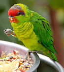 A green parrot with a light green underside, a red forehead, and a violet mark behind the eyes