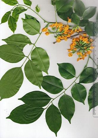 Pterocarpus macrocarpus - Image: Pterocarpus Macrocarpus