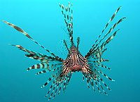 أسد البحر 200px-Pterois_volita