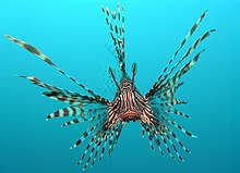 The ornate red lionfish as seen from a head-on view