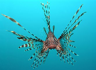 Fish - Head-on view of a red lionfish