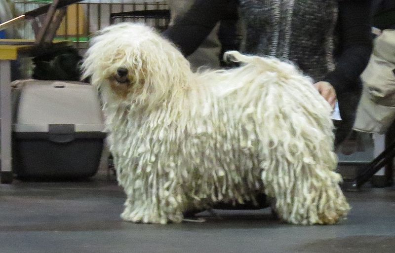 File:Puli in Riga 2.JPG