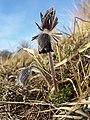 Pulsatilla pratensis (subsp. nigricans) sl31.jpg