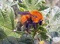 Punk bumblebee (Bombus pascuorum).jpg