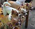 Puppies at Pet Stall - Talat Warorot Market - Chiang Mai - Thailand (34947959332).jpg