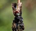 Purple-rumped Sunbird (Leptocoma zeylonica) bathing W IMG 7756.jpg