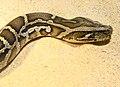 Python molurus bivittatus Ile aux Serpents 201108 2.jpg