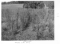 Queensland State Archives 4492 Groundsel infestation after spray treatment c 1950.png
