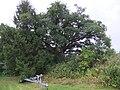 Quercus × rosacea - Natvigeik-1.jpg
