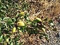 Quercus agrifolia-1.jpg