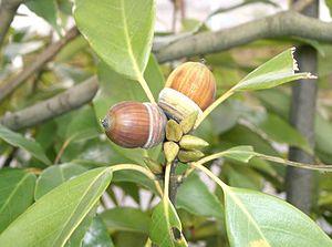 Quercus glauca - Image: Quercus glauca 4