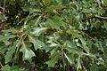 Quercus ilicifolia (24194897536).jpg