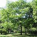 Quercus rubra vozdovacki park.jpg
