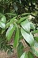 Quercus sessilifolia kz03.jpg
