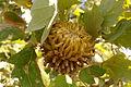 Quercus trojana1.jpg