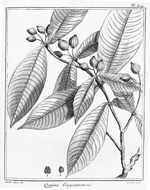 Quiina guianensis, Illustration.