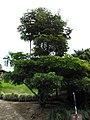 Quinina australiana (Alstonia scholaris) (14090347150).jpg