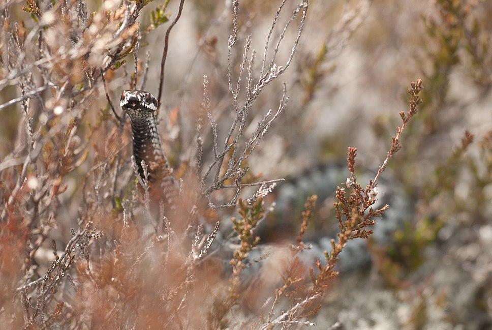 Rästik Rästik Põhja-Kõrvemaa looduskaitsealal
