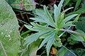 Ranunculus acris ENBLA03.JPG