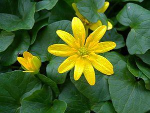Ranunculus ficaria Aarberg2.JPG