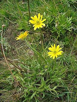 Ranunculus peduncularis var. erodiifolius (9080680296).jpg