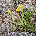 Ranunculus repens in Aveyron (14).jpg