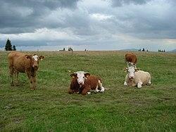 Allevamento bovino