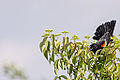 Red-Winged Blackbird (9052877143).jpg