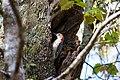 Red-bellied woodpecker (47479894522).jpg