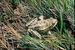 Red-legged-frog-usfws.jpg