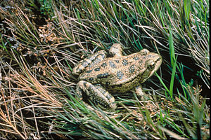 California red-legged frog - California red-legged frog in habitat
