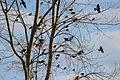 Red-winged Blackbirds (13894045124).jpg