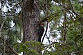 Red Crested Wood Pecker (64570339).jpeg